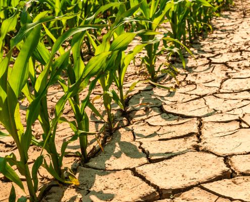 drought tolerant vegetables